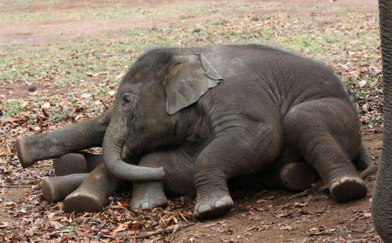 Elephants born when mothers are stressed age faster and produce fewer offspring