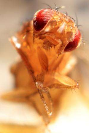 Fruit flies crucial to basic research