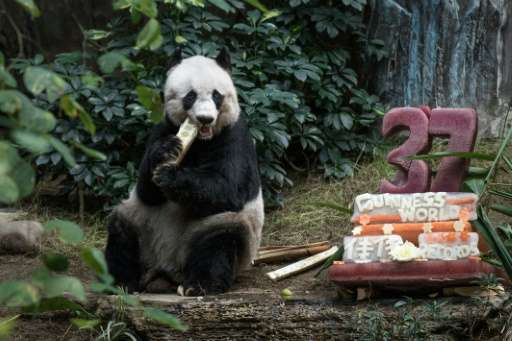 Giant panda Jia Jia eats a bamboo stick next to her cake made of ice and fruit juice to mark her 37th birthday at an amusement p