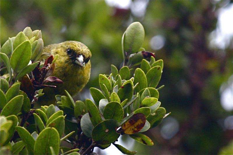 Hawaii's rarest birds may lose range to rising air temperatures, disease