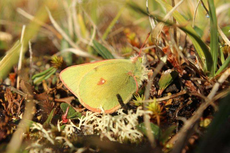 High-arctic butterflies shrink with rising temperatures