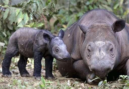 Highly endangered Sumatran rhino pregnant with 2nd calf