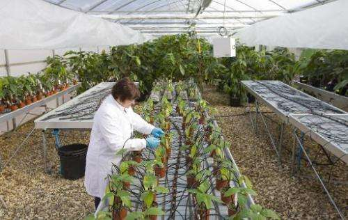 Horticultural technician Heather Lake checks cocoa plant leaves for pests at the International Cocoa Quarantine Centre in Readin