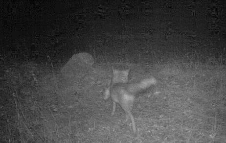 Hungry foxes test sows on mothering skills
