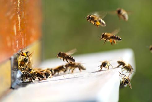 Interaction between Varroa destructor and imidacloprid reduces flight capacity of honeybees