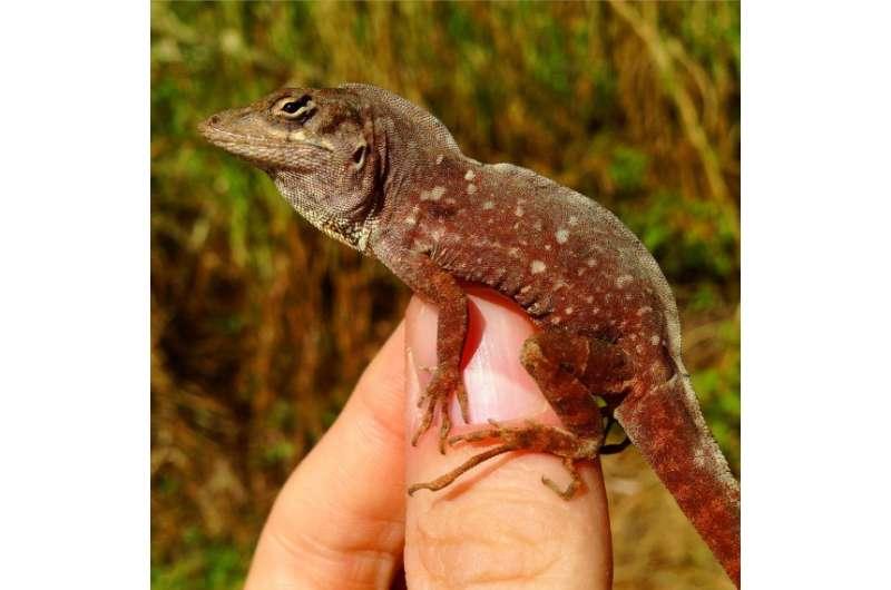 Invasive lizard takes up residence in Bermuda
