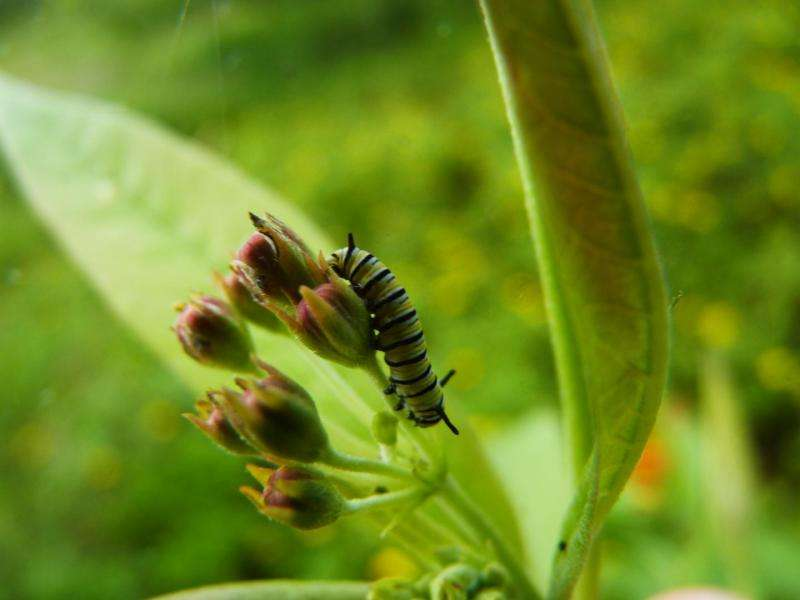 Milkweed, monarchs, men, & madness