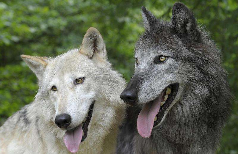 Myth of tolerant dogs and aggressive wolves refuted