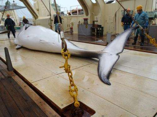 Photo released by the Instutute of Cetacean Research on November 18, 2014 shows a minke whale on the deck of a whaling ship for
