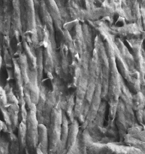 Pigments, organelles persist in fossil feathers