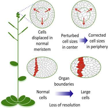Pixelated plants shed light on cell size control