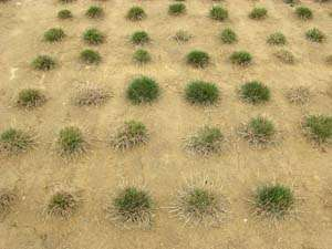 Recycled water, salt-tolerant grass a water-saving pair