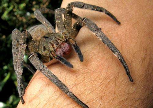 Researchers looking at genetically modified spider venom to treat erectile dysfunction