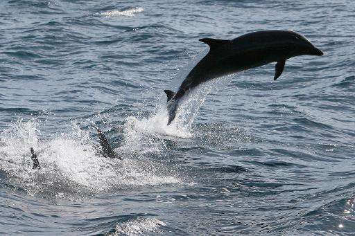 Residents of the tiny village of Fanalei in the Solomon Islands killed more than 1,600 dolphins in 2013 for their teeth, a local