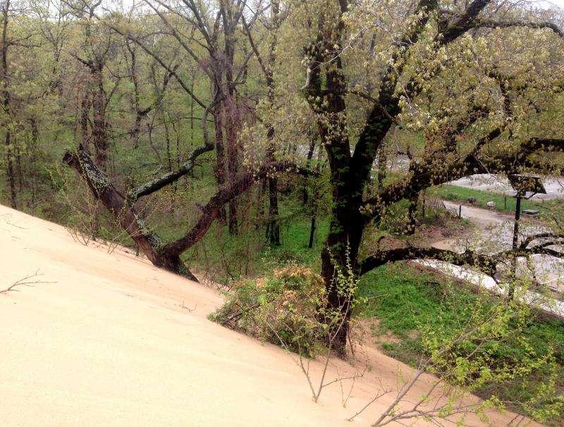 Rotting oaks lead to hazardous voids in Indiana's mount baldy sand dune
