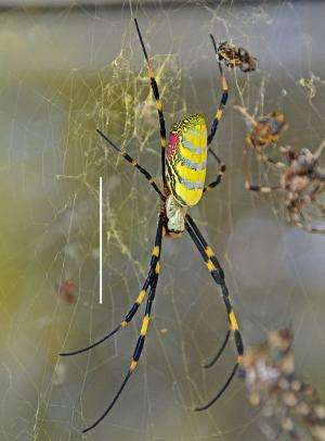 Scientists confirm first North American record of East Asian Joro spider