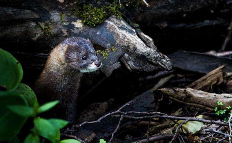 Scientists optimize breeding management for European minks