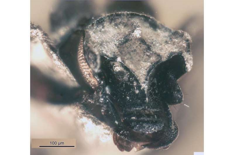 Scientist unravels the mysteries of a beetle that lived a million centuries ago