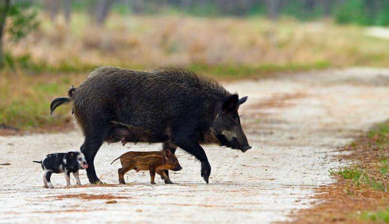 Scramble to protect keystone species from pesky pigs