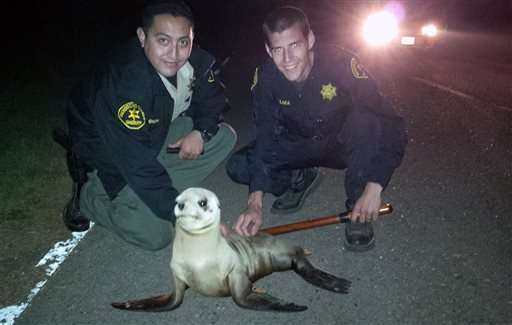 Sea lion pup waddles away from water, gets ride back to sea