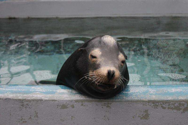 Sea lions exposed to algal toxin show impaired spatial memory