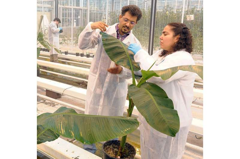 Spread of Panama disease in banana caused by one single clone of the Fusarium fungus