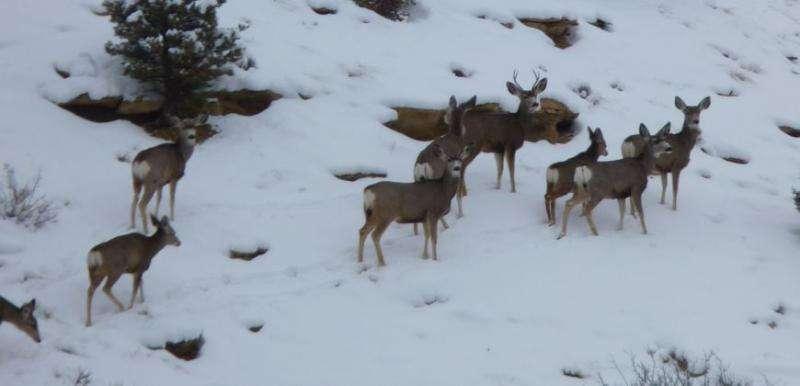 Study quantifies natural gas development impacts on mule deer