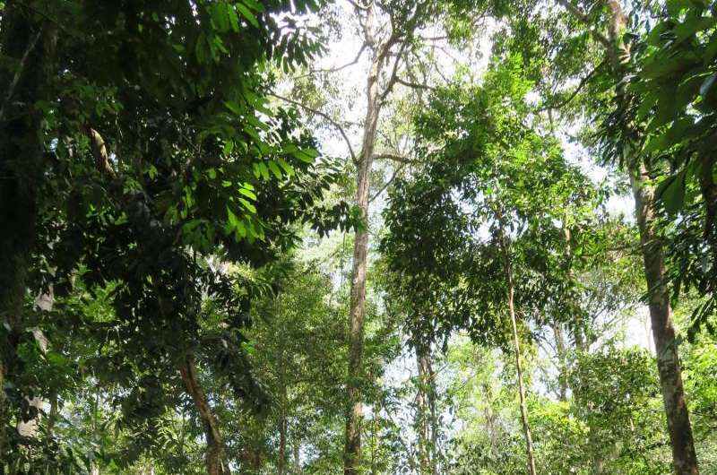 Tallest trees could die of thirst in rainforest droughts, study finds