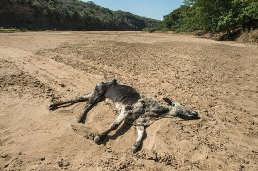 The carcass of a dead cow lies in the Black Umfolozi River, dry from the effects ot the latest severe drought north west of Durb