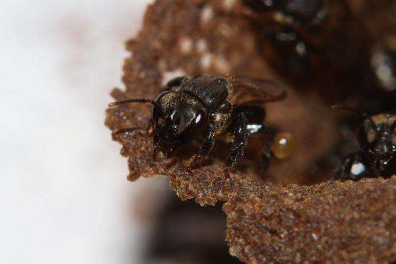 These social bees farm and eat fungus or die