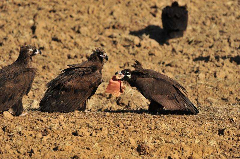 The vulture's scavenging secrets -- an ironclad stomach and a strong immune system