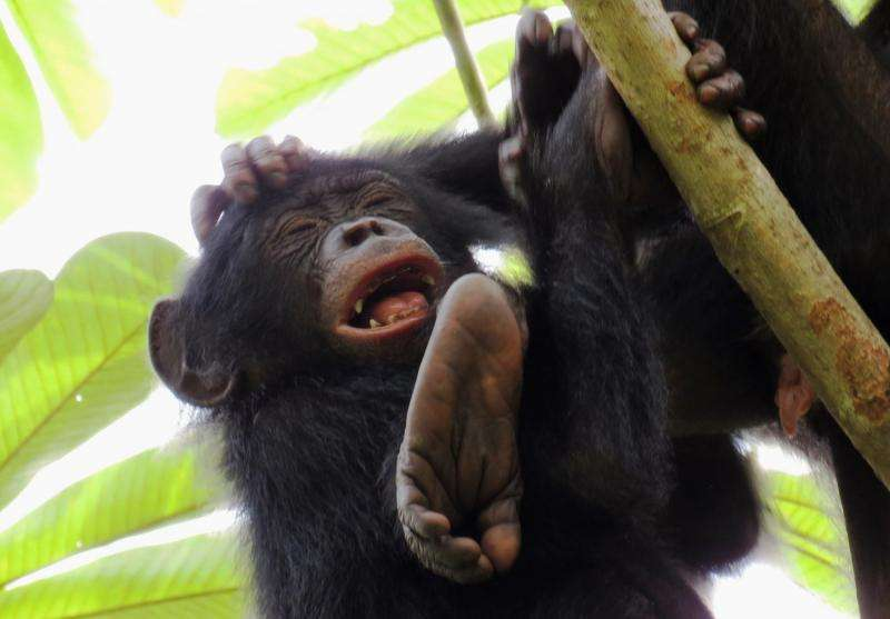 Tool use is 'innate' in chimpanzees but not bonobos, their closest evolutionary relative