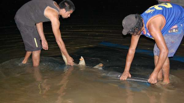 """Trap and haul"" program suggested to save endangered sawfish"