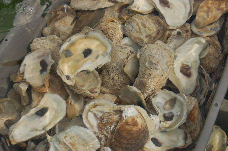 UNH researchers discover new method to detect most common bacteria contaminating oysters
