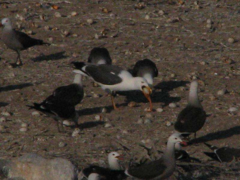 Why are seabirds abandoning their ancestral nesting grounds in the Gulf of California?