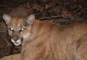 Behind the scenes with a Los Angeles mountain lion expert