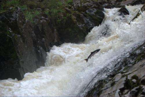 Researchers explain mysterious migratory journey of wild salmon