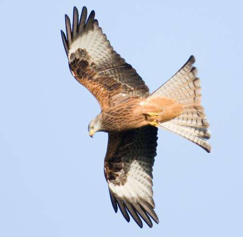 Study reveals north/south genetic divide in Welsh red kite