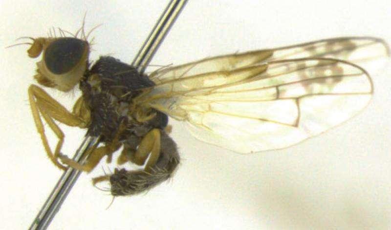 Researchers describe three new species of fruit flies