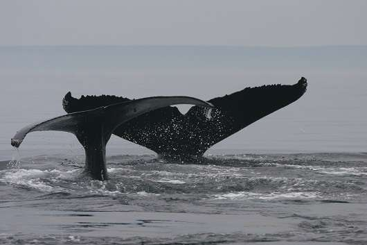 Climate change affects whales