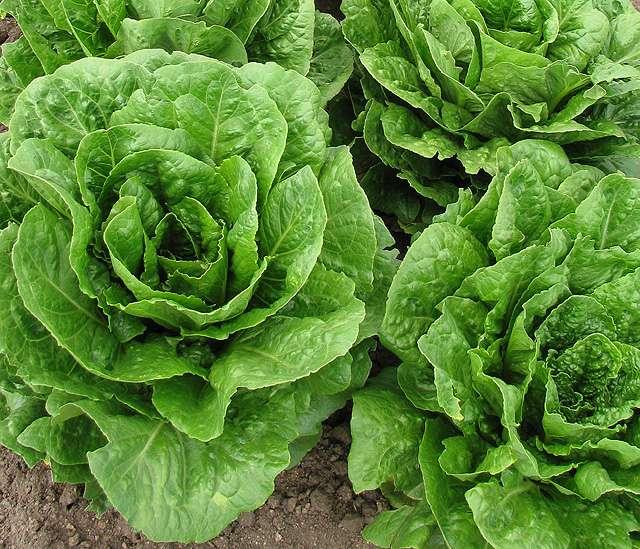 16 new lettuce breeding lines from ARS