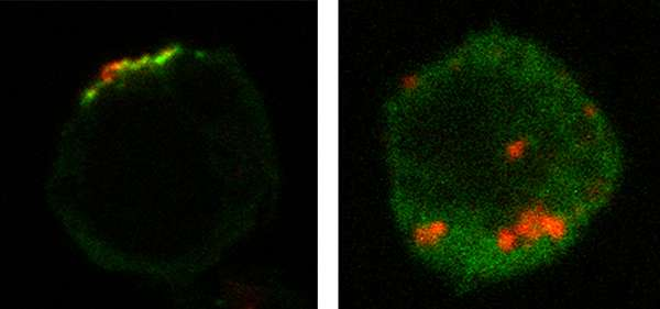 Study reveals how a Rab protein controls HIV-1 replication