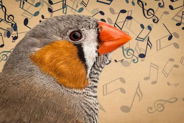 Neuroscientists identify neural patterns birds use to learn their songs