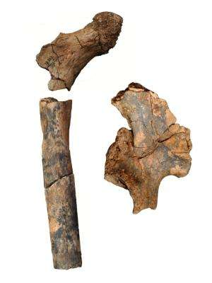 Ancient fossils reveal diversity in the body structure of human ancestors