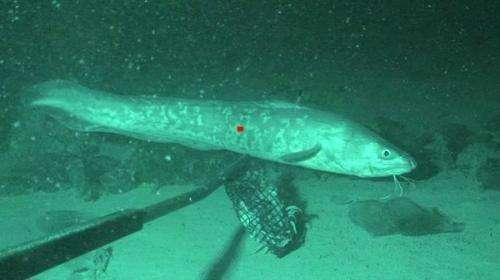 Baited video cameras help detect deep sea fish