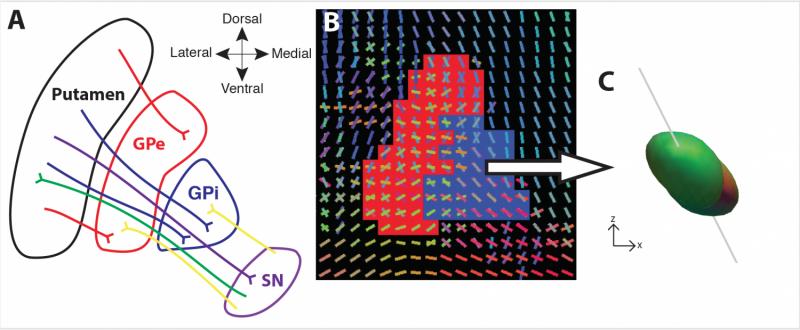 Carnegie Mellon BrainHub scientists visualize critical part of basal ganglia pathways