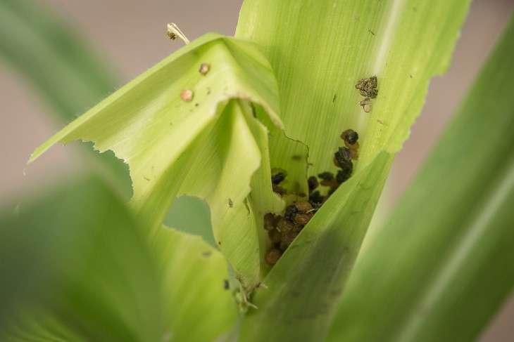Caterpillar deceives corn plant into lowering defenses against it