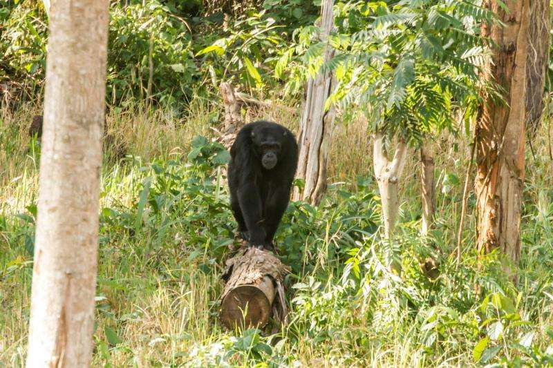 Chimpanzees found to survive in degraded and human-dominated habitats