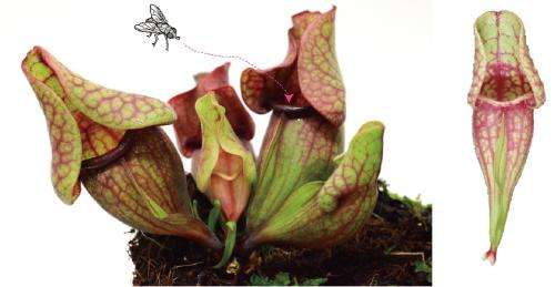 Development of a carnivorous pitcher leaf