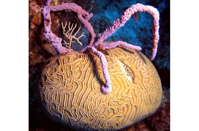 Endangered corals smothered by sponges on overfished Caribbean reefs